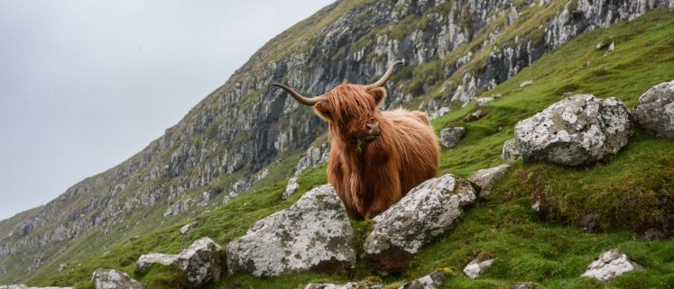 Scottish National Heritage - Highland Ox
